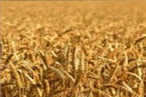 Barley to add further selling in the near term